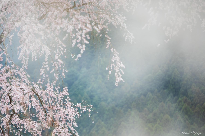 湯の山温泉のしだれ桜 2018_5