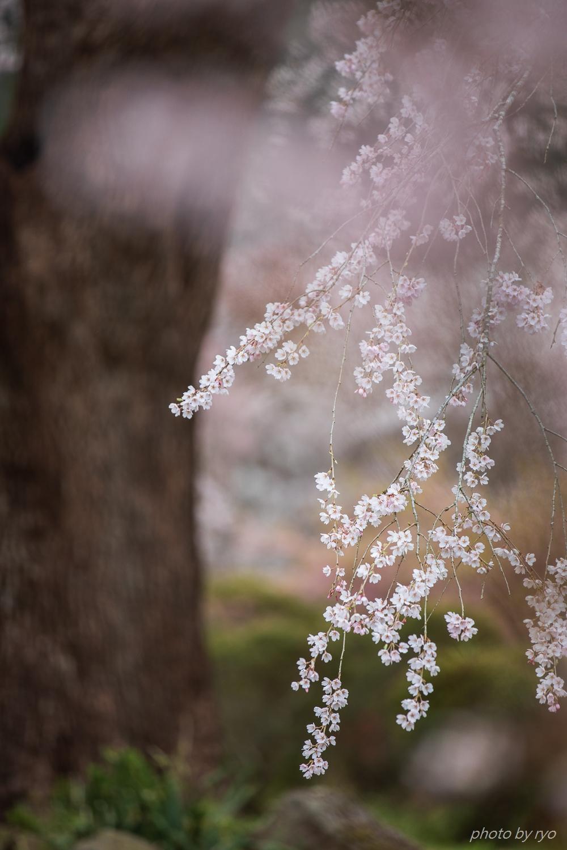 湯の山温泉のしだれ桜 2018_6