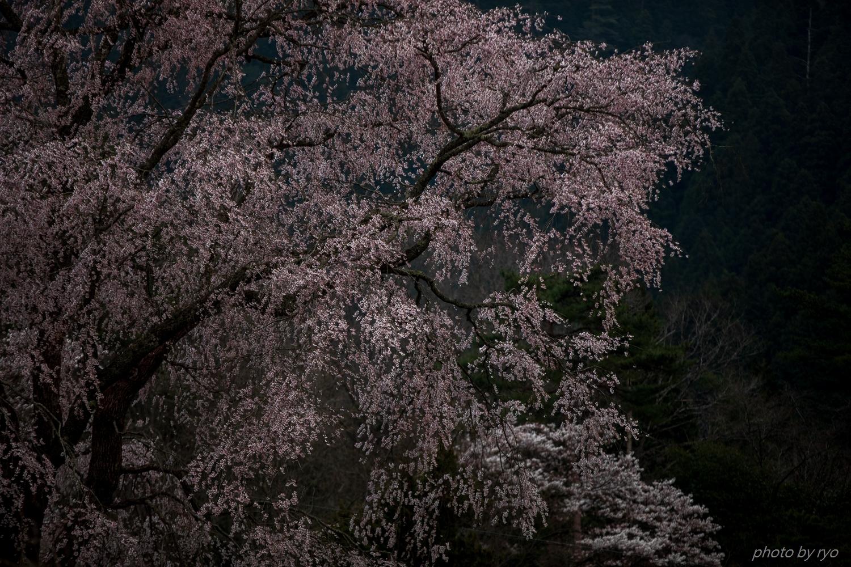 湯の山温泉のしだれ桜 2018_7