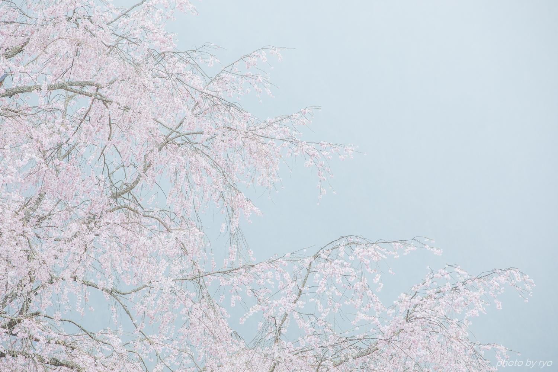 湯の山温泉のしだれ桜 2018_8