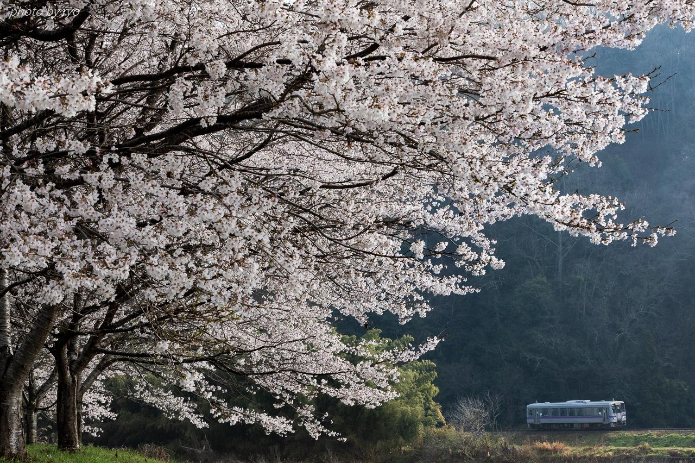 桜咲く季節に