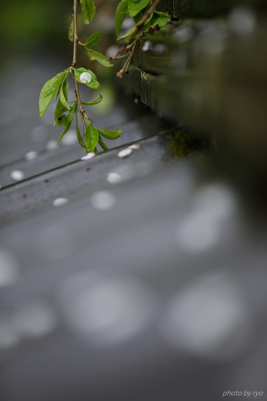 大楽寺のしだれ桜 2019_1