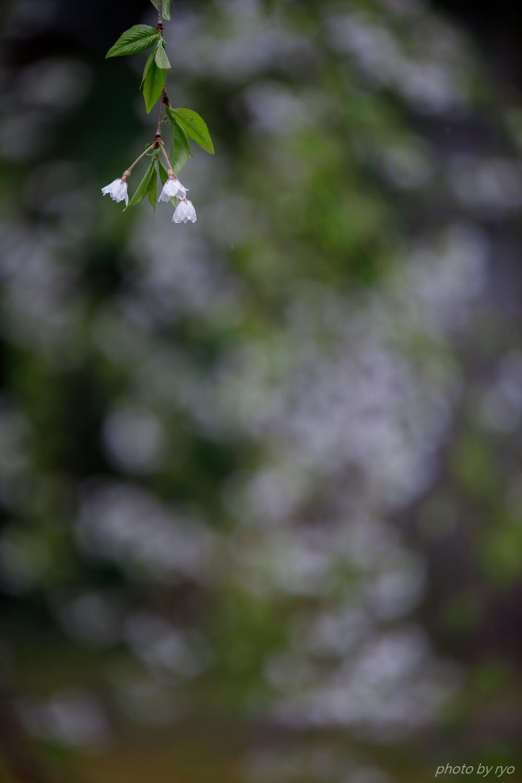 大楽寺のしだれ桜 2019_4