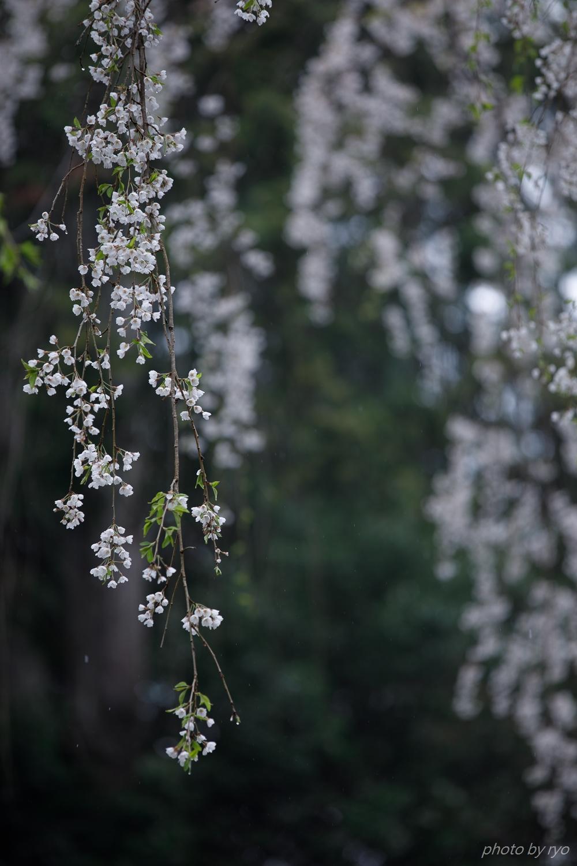 大楽寺のしだれ桜 2019_5