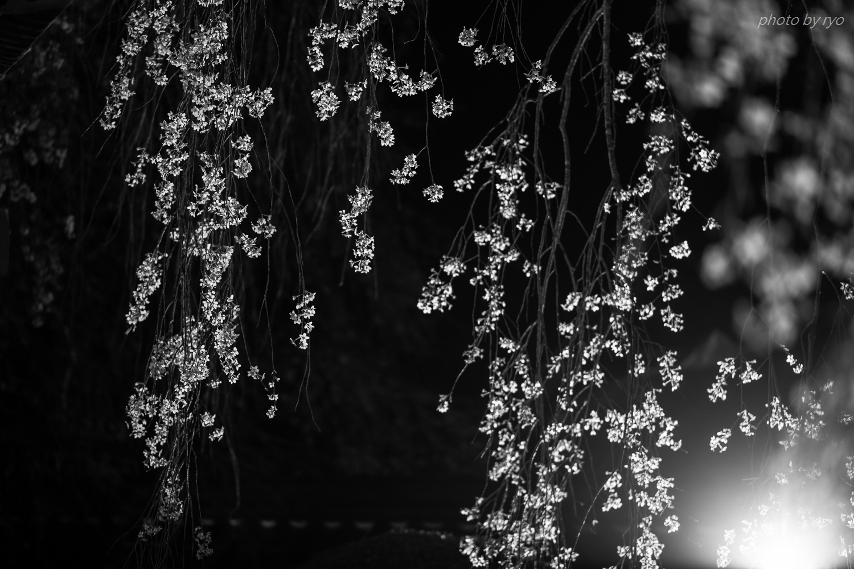 円正寺のしだれ桜 2019_2