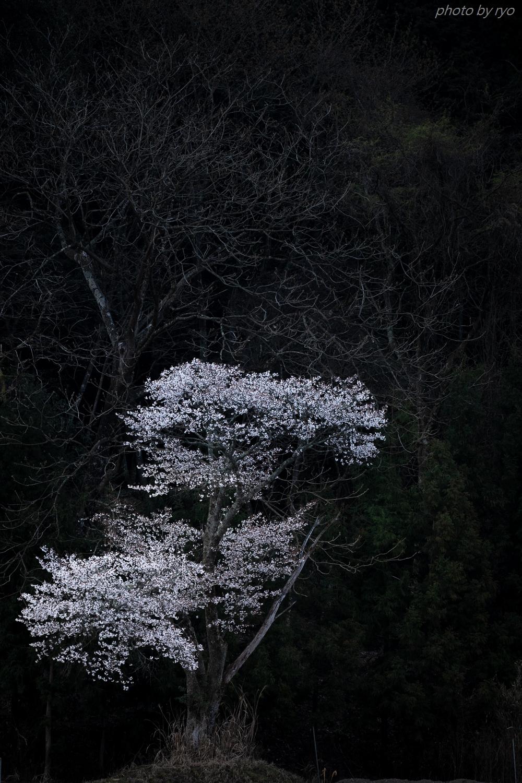 佐々井厳島神社の桜_2