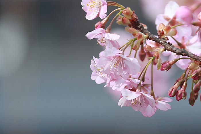 佐保川 河津桜3