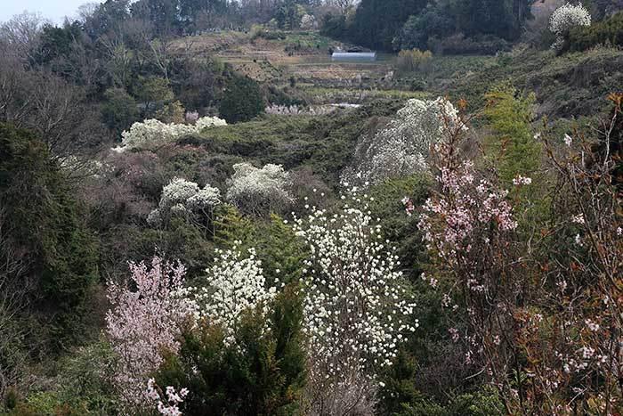 平群 里山の花木1