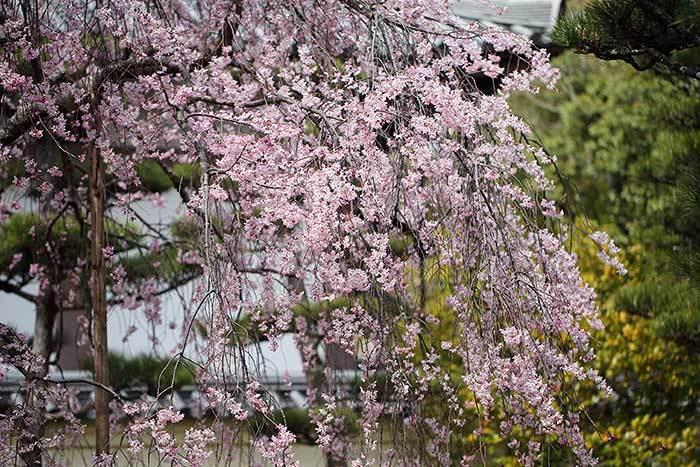 法華寺 春の花2