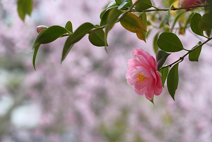 法華寺 春の花4