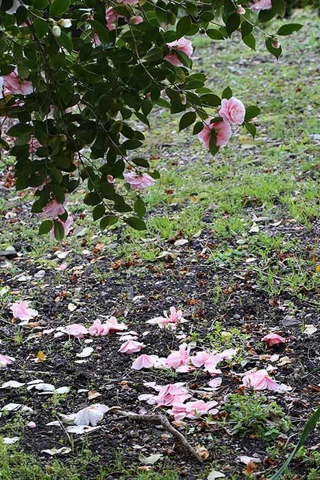 法華寺 春の花5