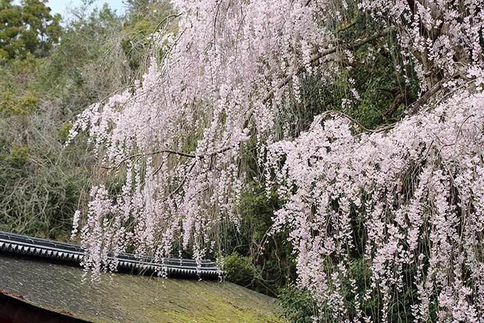 春日大社 枝垂桜2
