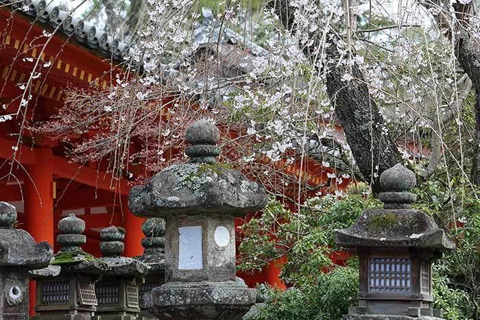 春日大社 枝垂桜4