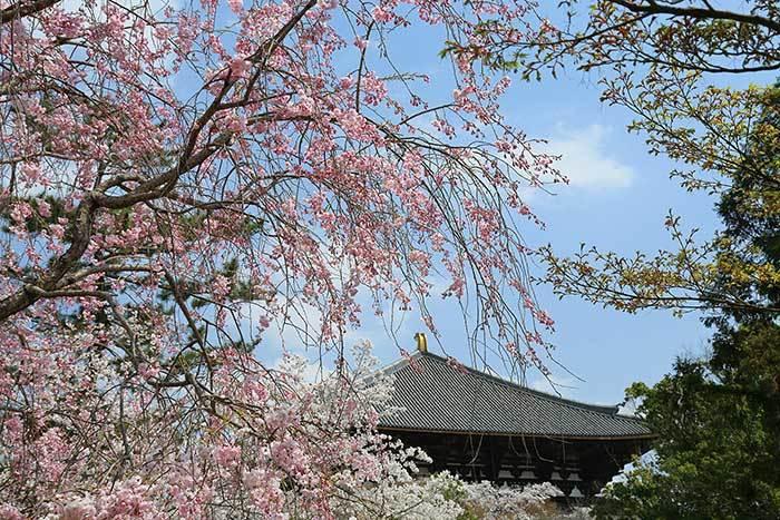 東大寺 桜6