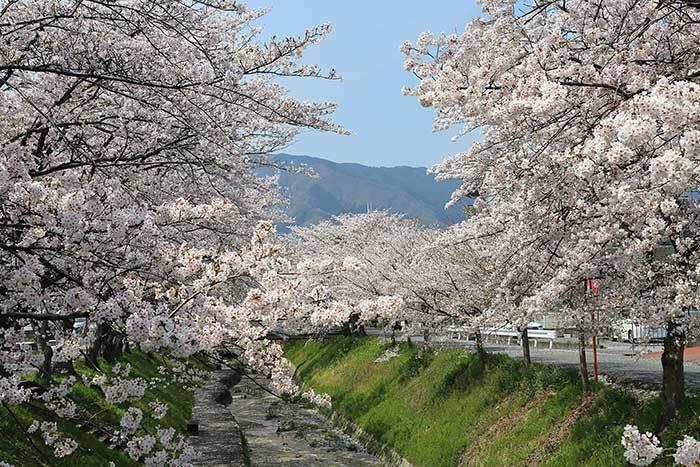 柳田川 桜1