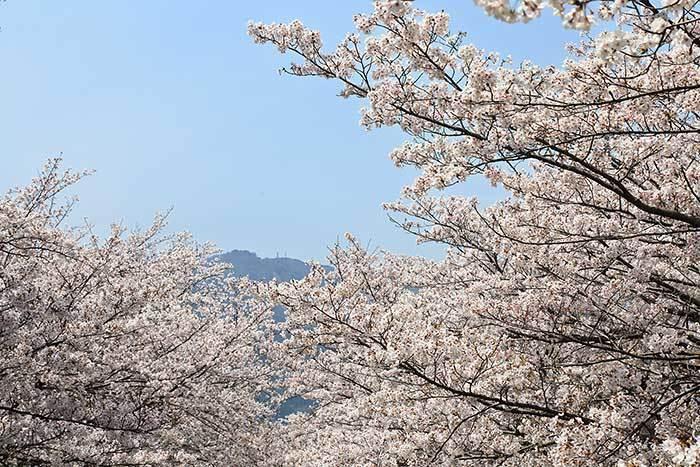 柳田川 桜2