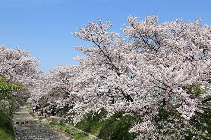 柳田川 桜3