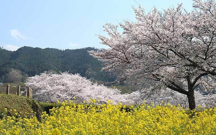 石舞台古墳 桜3