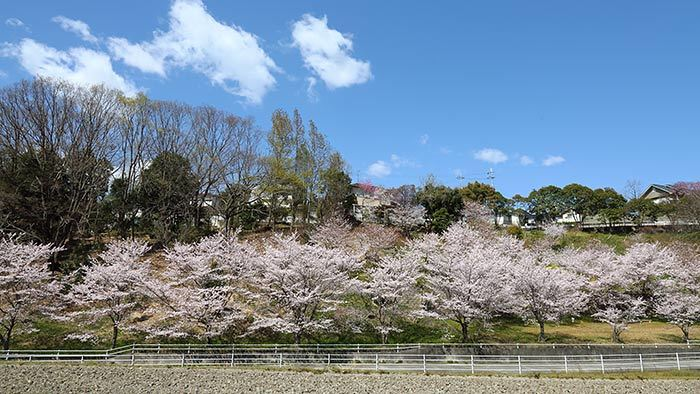 ある緑地の桜並木1