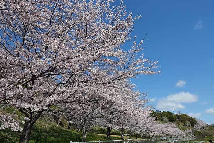 ある緑地の桜並木2