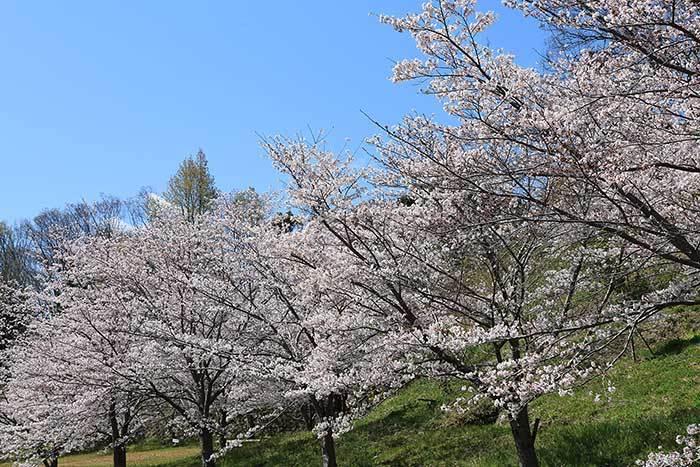 ある緑地の桜並木3