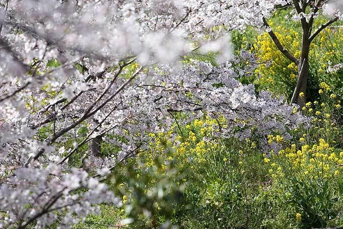 ある緑地の桜並木4
