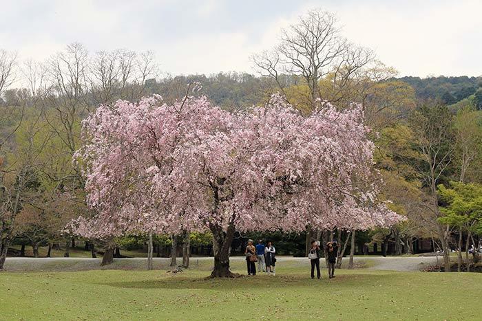 東大寺 おかっぱ桜1