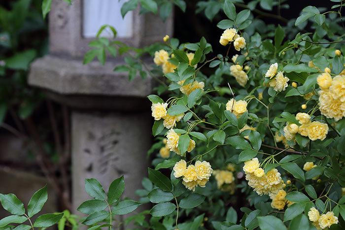 漢国神社 モッコウバラ
