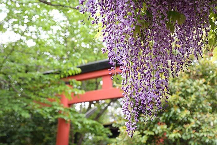 漢国神社 藤