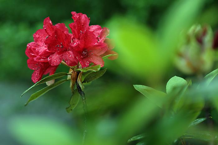 大和文華館 石楠花