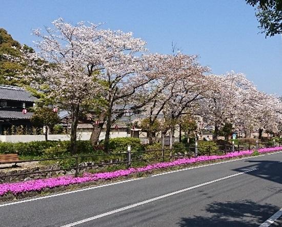2019 4月6日 桜1