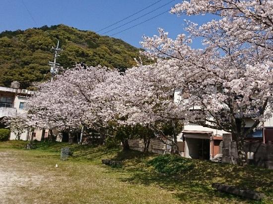 2019 4月6日 桜3