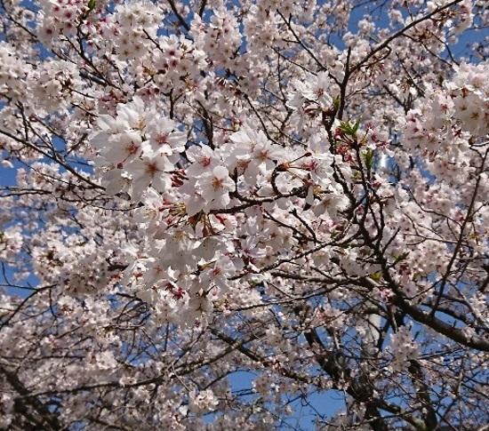 2019 4月6日 桜4