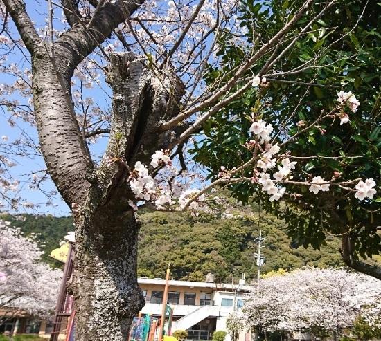 2019 4月6日 桜5