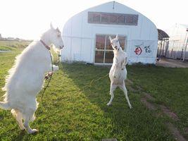 【写真】受付ハウス前で前脚をあげて押し相撲を始めるアランとポール