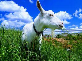【写真】青空の下、草を頬張る子ヤギのポール