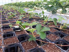 【写真】子苗の採苗を始めた育苗ハウスの様子