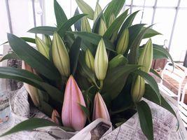 """【写真】館山の花き農家さんからわけていただいたユリの花 """"カサブランカ"""""""
