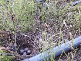 【写真】資材置き場のパイプの脇に作られたヒバリの巣(4つの卵)