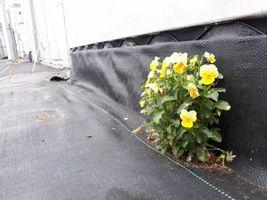 【写真】ハウス脇の防草シート上に咲いたパンジーの花