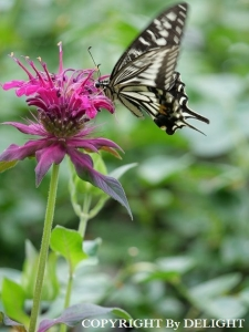 ベルガモットと蝶