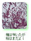 梅は咲いたが桜はまだよ!