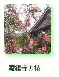 霊鑑寺の椿