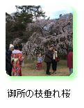 御所の垂れ桜