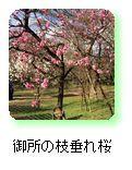 御所の枝垂れ桜