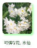 可憐な花、水仙