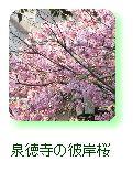泉徳寺の彼岸桜