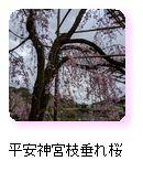 平安神宮垂れ桜
