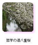 哲学の道八重桜