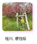 桂川、根性桜